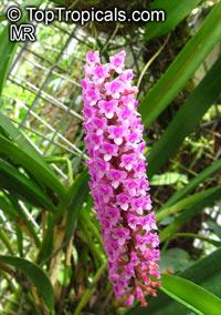 Arpophyllum giganteum, Hyacinth Orchid, Bottlebrush Orchid  Click to see full-size image
