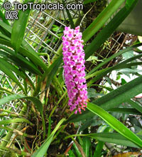 Arpophyllum giganteum, Hyacinth Orchid, Bottlebrush Orchid  Click to see full-size image