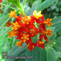 Asclepias curassavica - Red Milkweed, Butterfly Weed   Click to see full-size image