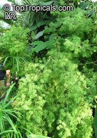 Asparagus laricinus, Protasparagus laricinus, Asparagus angolensis, Cluster-leaf Asparagus, Bergkatbos  Click to see full-size image