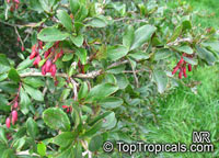 Berberis sp., Barberry  Click to see full-size image