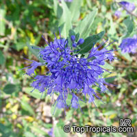 Caryopteris × clandonensis, Bluebeard, Blue Spirea, Blue Mist shrubClick to see full-size image