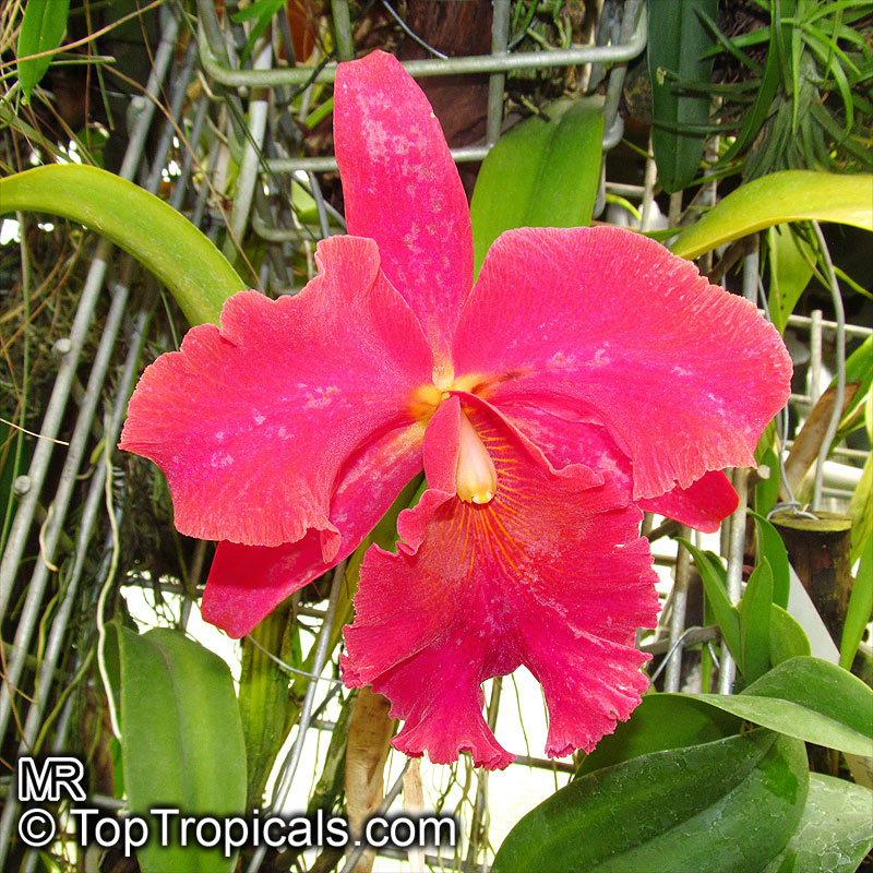 Care of Cattleya Orchids Cattleya sp Cattleya Orchid