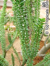 Ceraria namaquensis, Portulacaria namaquensis, Namaqualand Ceraria, False Portulacaria, Namaqua Porkbush  Click to see full-size image