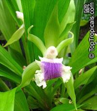 Cochleanthes aromatica, Zygopetalum aromaticum , Cochleanthes  Click to see full-size image