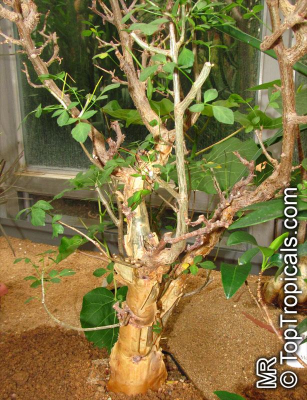 Commiphora Sp Commiphora Velvet Leaved Corkwood