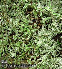Coprosma kirkii, Mirror Plant  Click to see full-size image