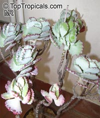 Cotyledon undulata, Silver Crown, Silver Ruffles  Click to see full-size image