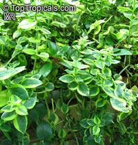 Crassula sarmentosa, Showy Trailing Jade  Click to see full-size image