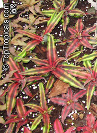 Cryptanthus sp., Cryptanthus, Bromeliad