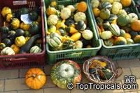 Cucurbita pepo, Pumpkin, Scallop, Zucchini, Ornamental gourdsClick to see full-size image