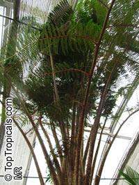 Cyathea cooperi, Sphaeropteris cooperi, Australian Tree fern, Hapuu FernClick to see full-size image