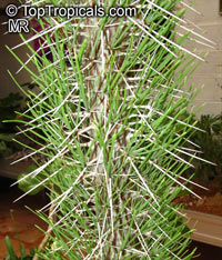 Didierea madagascariensis, Octopus TreeClick to see full-size image