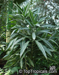 Dracaena fragrans , Corn plant  Click to see full-size image