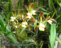 Encyclia sp., Encyclia  Click to see full-size image
