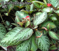 Episcia cupreata, Flame Violet  Click to see full-size image