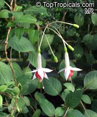 Fuchsia sp., FuchsiaClick to see full-size image