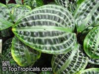 Geogenanthus poeppigii, Geogenanthus undatus, Seersucker Plant  Click to see full-size image