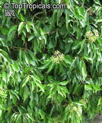 Hedera sp., Ivi  Click to see full-size image
