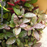 Hemigraphis sp., Waffle Plant, Dragon Tongue   Click to see full-size image