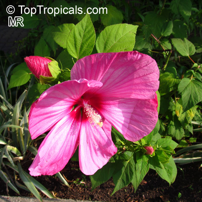hibiscus moscheutos swamp rose mallow hardy hibiscus. Black Bedroom Furniture Sets. Home Design Ideas
