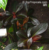 Hoffmannia refulgens, Taffeta Plant  Click to see full-size image
