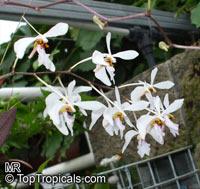 Holcoglossum subulifolium, Terete-Leafed Holcoglossum  Click to see full-size image