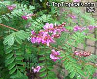 Indigofera gerardiana, Indigofera heterantha, Gerard's Indigo, Himalayan Indigo  Click to see full-size image