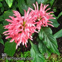 Justicia carnea, Jacobinia carnea, Brazilian Plume, Flamingo Flower  Click to see full-size image