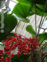 Licuala grandis - Ruffled Fan PalmClick to see full-size image