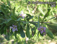 Lycium sp., Lycium, Box-thorn, Desert-thorn, Wolfberry  Click to see full-size image