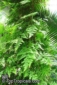 Lygodium japonicum, Japanese Climbing FernClick to see full-size image