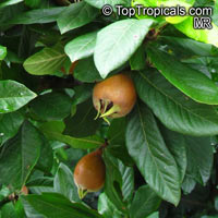 Mespilus germanica, Medlar  Click to see full-size image