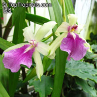 Miltonia sp., Miltonia  Click to see full-size image