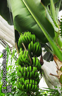 Musa - Banana Orinoco  Click to see full-size image