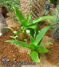 Ornithogalum sp., Star of Bethlehem  Click to see full-size image