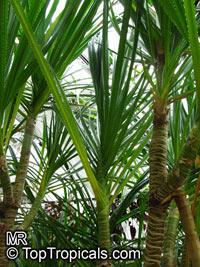 Pandanus nitidus, Pandanus stenophyllus, Freycinetia nitida, Narrow-leaved Pandanus  Click to see full-size image