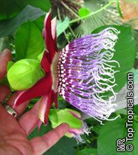 Passiflora quadrangularis, Passiflora macrocarpa, Giant granadilla
