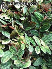 Pellionia pulchra, Satin PellioniaClick to see full-size image