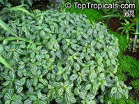 Pilea cadierei, Aluminum Plant, Watermelon PlantClick to see full-size image