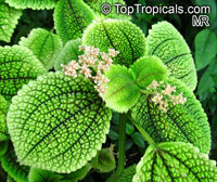 Pilea mollis, Pilea crassifolia , Moon Valley Pilea  Click to see full-size image