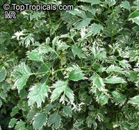 Polyscias guilfoylei , Guilfoyle Polyscias, Geranium Leaf Aralia, Wild Coffee, Black Aralia  Click to see full-size image