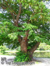 Pterocarya fraxinifolia, Caucasian Wingnut  Click to see full-size image