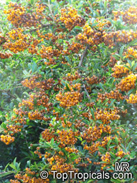 Pyracantha sp., Firethorn  Click to see full-size image