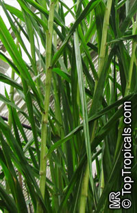 Saccharum officinarum, Sugar Cane