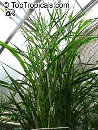 Saccharum officinarum, Sugar Cane  Click to see full-size image