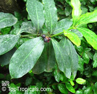 Sideroxylon sp., Bully Tree, Manglier, Dodo Tree  Click to see full-size image