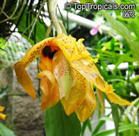 Stanhopea sp., Stanhopea  Click to see full-size image