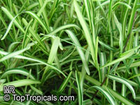 Stenotaphrum secundatum 'Variegatum', st. Augustine Grass, Buffalo Grass  Click to see full-size image