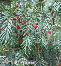 Taxus baccata, English Yew  Click to see full-size image